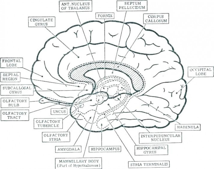 Brain Coloring Book The Anatomy Of The Brain Coloring Book Human ..