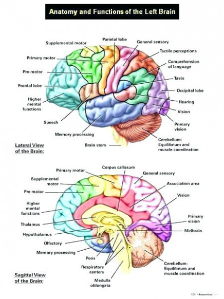 Inspirational Neuroanatomy Coloring Book Or The Anatomy Coloring ..